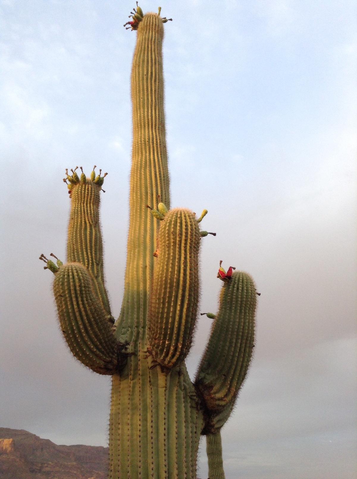 Cactus – mydesertview