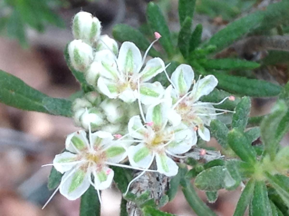 White desert flowers mydesertview white ones img9217 mightylinksfo